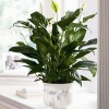 Peace Lily's are durable plants that help remove mold from the air.  Well suited for bathrooms or damp areas in the home.
